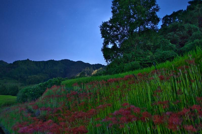 夜の稲渕棚田で彼岸花と星空狙い
