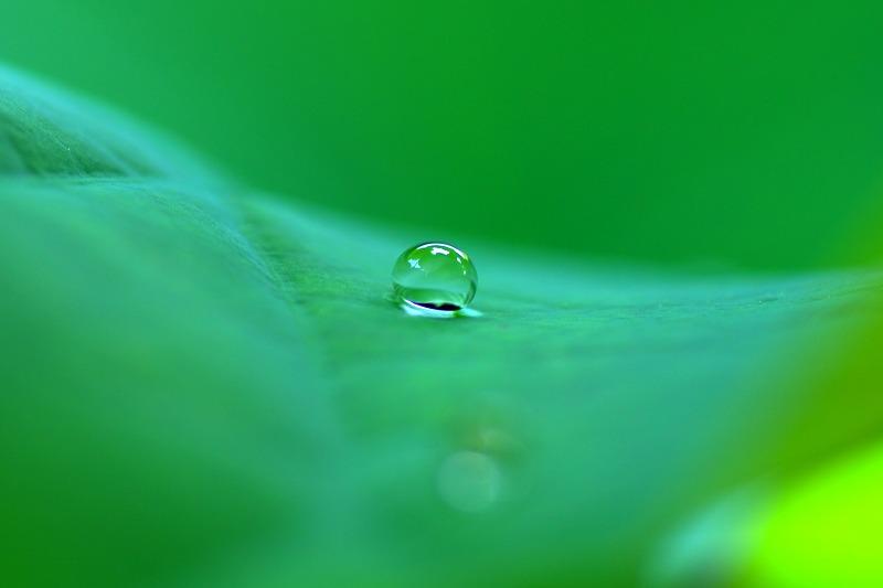 唐招提寺 蓮の葉っぱ 水滴