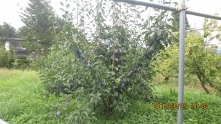 プルーン樹