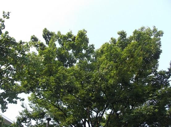樹1161