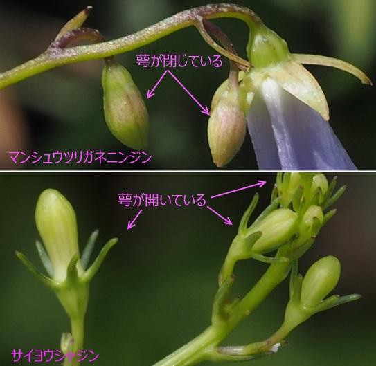 16蕾の萼77 サ821-8