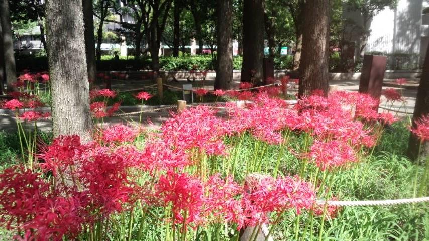 150922_higanbana.jpg