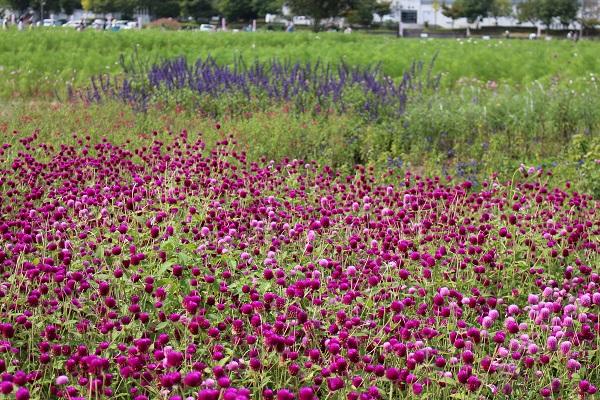 2015.10.05 亀岡夢コスモス園①-16