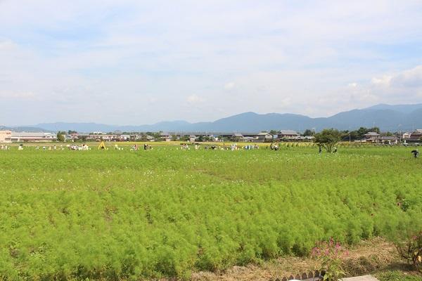 2015.10.05 亀岡夢コスモス園①-17