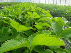 [写真]一瞬の陽射しを受けてピンと葉っぱを広げる苗の様子