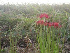 [写真]農園近くの畦道に咲いた彼岸花