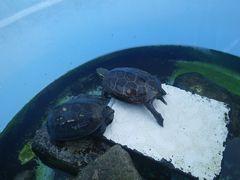 [写真]日光浴中のクロ(左)とトラ(右)