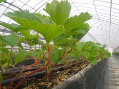 [写真]本圃ハウスの高設ベッドに植えた紅ほっぺの様子