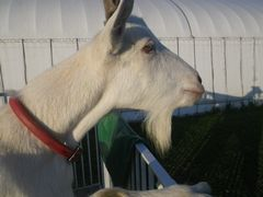 [写真]小屋の柵から顔をだして外を眺めるアラン