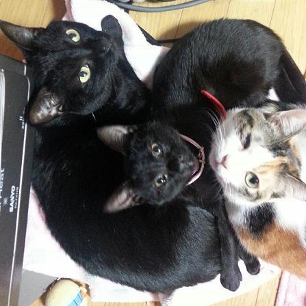 【愛ラブ田さん家の猫ちゃん達が集合。大きな黒猫が愛ちゃん、三毛猫がラブちゃん、おチビちゃんがミドちゃんです】