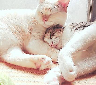 日だまりで、アータロウ君に抱かれて眠るききちゃん。ポカポカ、スヤスヤ(=^・^=)おやすみニャ~1