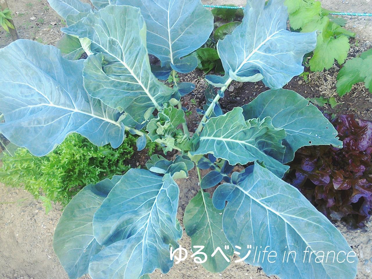 broccoli20150909①