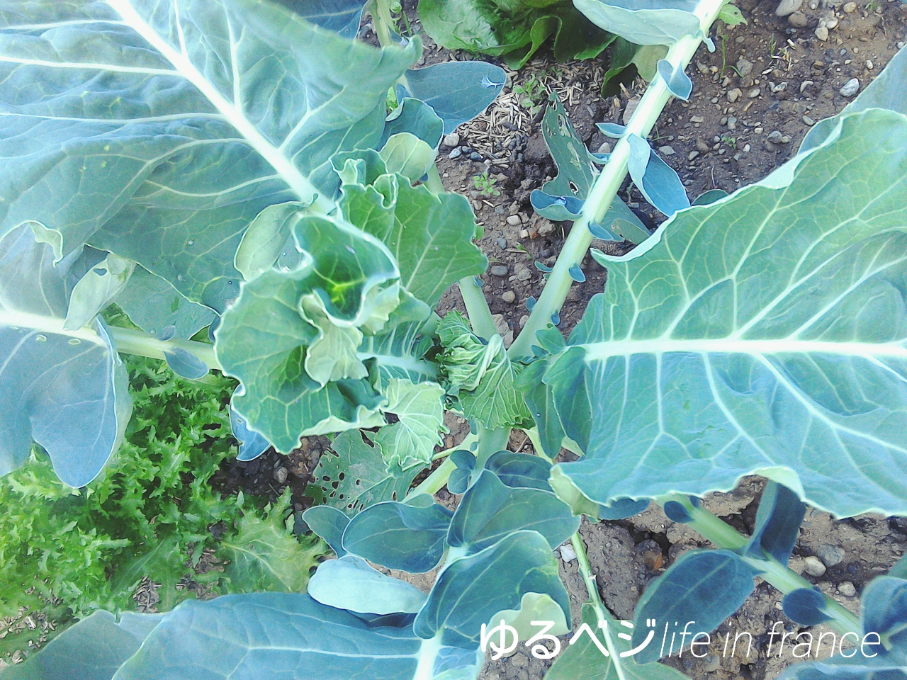 broccoli20150909②