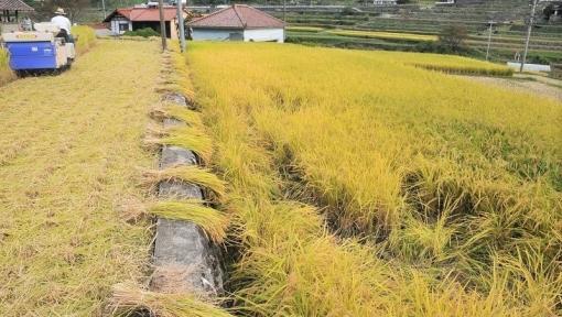 4665稲刈り1510101
