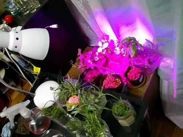 育成灯で水耕中-明