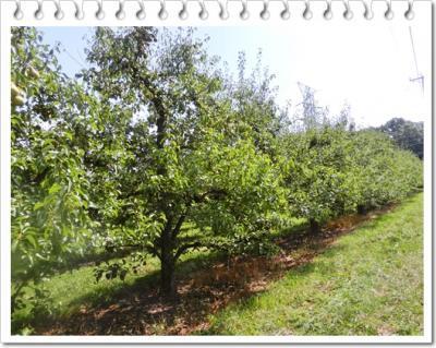 洋梨果樹園