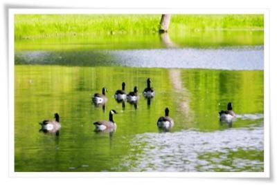 お池に鴨!