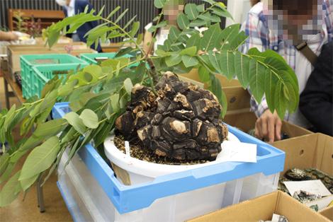 20151011セリの亀甲竜