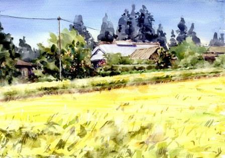 刈り入れ前の稲田