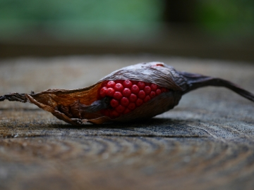 テンナンショウの赤い実