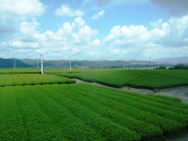島田市:茶畑1