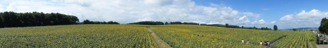 展望台からひまわり畑を望む(パノラマ)