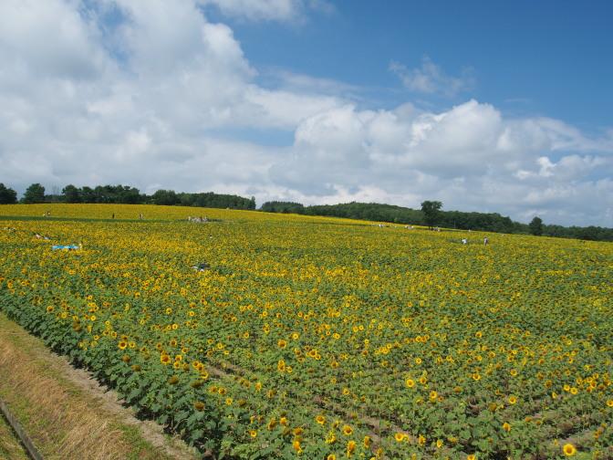 展望台からひまわり畑を望む