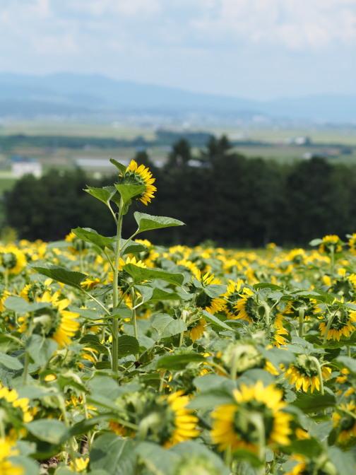 麓を眺める向日葵