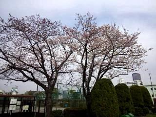20150328芝浦の桜(その12)