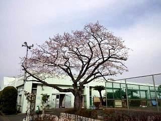 20150328芝浦の桜(その13)