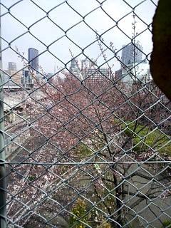 20150328芝浦の桜(その17)