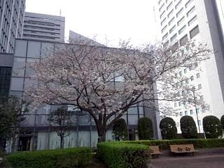 20150328芝浦の桜(その23)