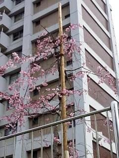 20150328芝浦の桜(その38)