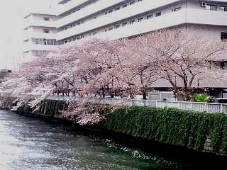 20150328芝浦の桜(その46)