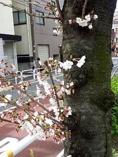 20150328芝浦の桜(その48)