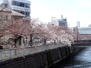 20150328芝浦の桜(その51)