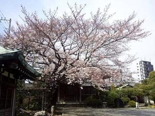 20150328芝浦の桜(その53)