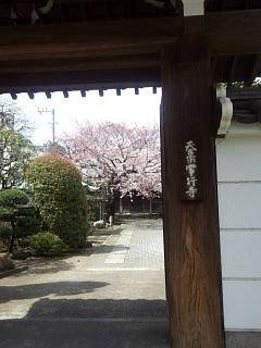 20150328芝浦の桜(その54)