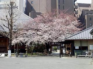 20150328芝浦の桜(その56)