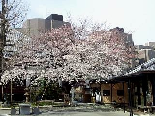 20150328芝浦の桜(その58)