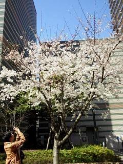 20150328芝浦の桜(その61)