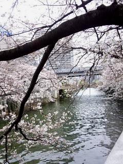 20150329目黒の桜(その5)