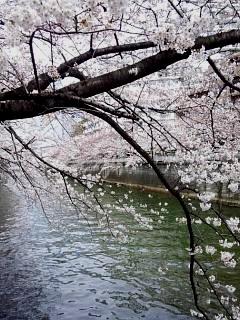 20150329目黒の桜(その6)