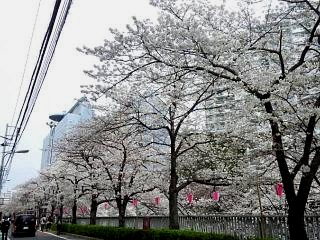 20150329目黒の桜(その8)