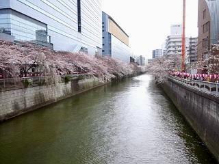 20150329目黒の桜(その11)