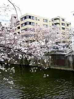 20150329目黒の桜(その14)