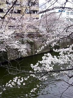 20150329目黒の桜(その15)