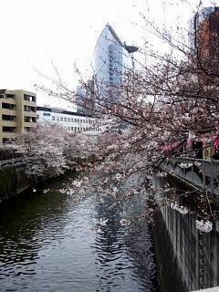 20150329目黒の桜(その16)