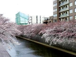 20150329目黒の桜(その39)