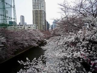 20150329目黒の桜(その45)
